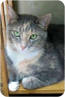 Domestic Shorthair Cat for adoption in Plainville, Massachusetts - Pretty Girl