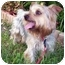 Photo 2 - Yorkie, Yorkshire Terrier Dog for adoption in West Palm Beach, Florida - Simon