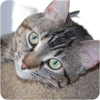 Domestic Shorthair Cat for adoption in Toronto, Ontario - *Fionna