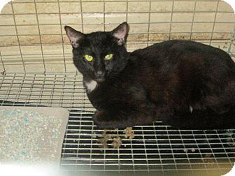 Domestic Mediumhair Cat for adoption in Henderson, North Carolina - Libby