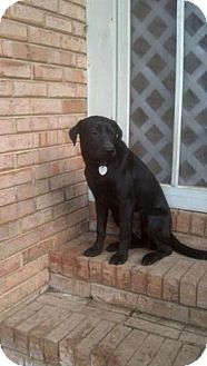 Labrador Retriever Mix Dog for adoption in Worcester, Massachusetts - Shelly