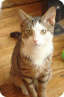 Domestic Shorthair Kitten for adoption in Brooklyn, New York - Taylor