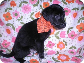 Collie Mix Puppy for adoption in New Castle, Pennsylvania - Willow
