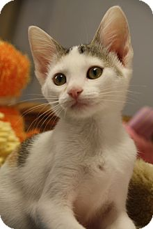 Domestic Shorthair Kitten for adoption in Marietta, Georgia - Scuttle