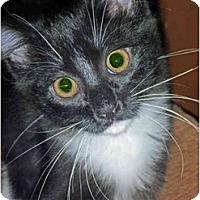 Adopt A Pet :: Pumpernickel - San Ramon, CA