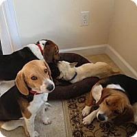 Adopt A Pet :: Chip - Alexandria, VA