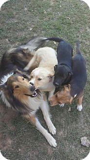 Golden Retriever/Labrador Retriever Mix Puppy for adoption in Albemarle, North Carolina - 3 golden/lab mix pups (1F)