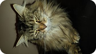 Maine Coon Cat for adoption in Mantua, New Jersey - Jinx