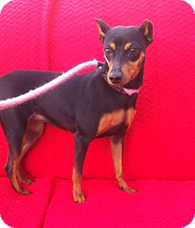 Miniature Pinscher Dog for adoption in Canoga Park, California - Pinky