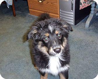Australian Shepherd Puppy for adoption in Liberty Center, Ohio - Garth Pending adoption