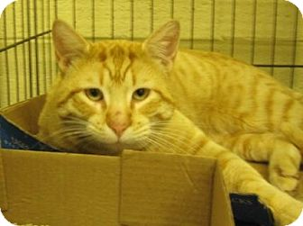 Domestic Shorthair Cat for adoption in Stillwater, Oklahoma - Orion