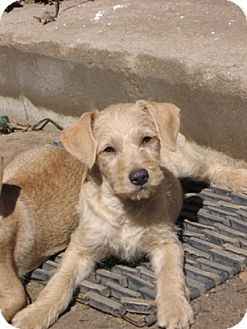 Terrier (Unknown Type, Small)/Chihuahua Mix Puppy for adoption in Vista, California - Jack