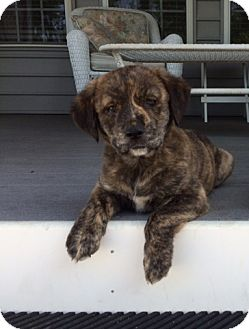Boxer/Hound (Unknown Type) Mix Puppy for adoption in Richmond, Virginia - Bear
