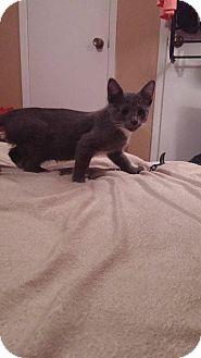 Domestic Mediumhair Kitten for adoption in Mansfield, Texas - Salmon