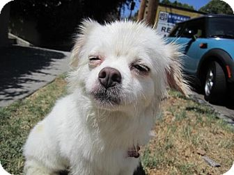 Tibetan Spaniel Mix Dog for adoption in Encino, California - Ariel