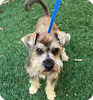 Schnauzer (Miniature) Mix Dog for adoption in Redondo Beach, California - Linus