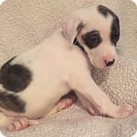 Adopt A Pet :: Snowflake - Lewisville, IN