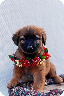 Belgian Malinois/German Shepherd Dog Mix Puppy for adoption in Auburn, California - Lacie