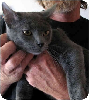 Russian Blue Cat for adoption in Davis, California - Boa