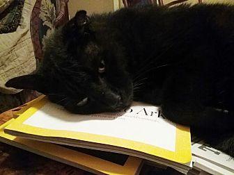 Domestic Shorthair Cat for adoption in Fort Pierce, Florida - Big Eddie