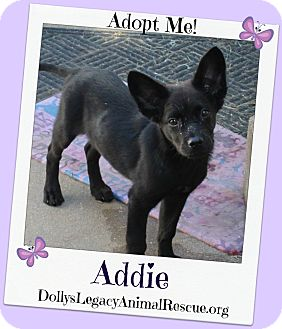 Cattle Dog/Shepherd (Unknown Type) Mix Puppy for adoption in Lincoln, Nebraska - ADDIE