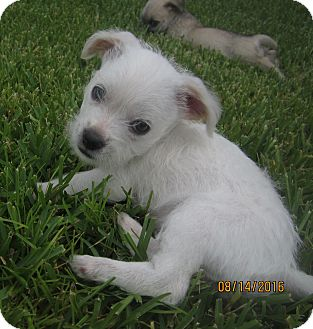 Parson Russell Terrier/Border Collie Mix Puppy for adoption in Wellington, Florida - BELLE