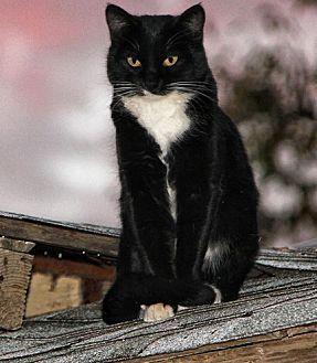Domestic Shorthair Cat for adoption in Rosamond, California - Pixie l