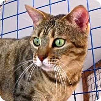 Bengal Cat for adoption in Davis, California - Kala
