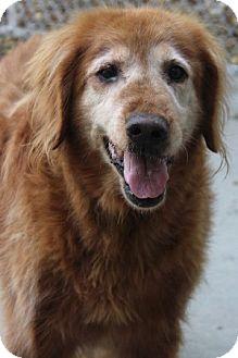 Labrador Retriever/Golden Retriever Mix Dog for adoption in Savannah, Missouri - Dixie