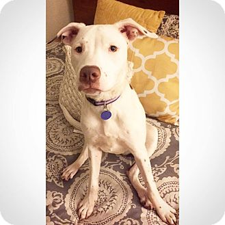 Cattle Dog/Pit Bull Terrier Mix Dog for adoption in Warrenville, Illinois - Carissa