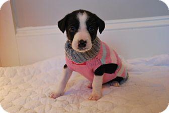 Collie/Border Collie Mix Puppy for adoption in Atlanta, Georgia - Itaska