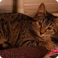 Domestic Shorthair Cat for adoption in Greenville, North Carolina - Pippy