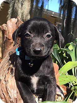 Chihuahua/Labrador Retriever Mix Puppy for adoption in Mount Hope, Ontario - Abby