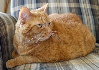 American Shorthair Cat for adoption in Heath, Ohio - Amber