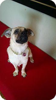 Pug/Beagle Mix Dog for adoption in Colorado Springs, Colorado - Niko