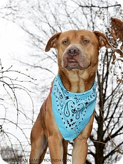 Retriever (Unknown Type)/American Pit Bull Terrier Mix Dog for adoption in Strongsville, Ohio - Connor fka Carson