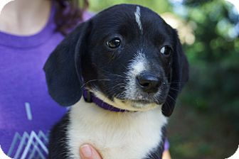 Dachshund/Chihuahua Mix Puppy for adoption in West Nyack, New York - Charli