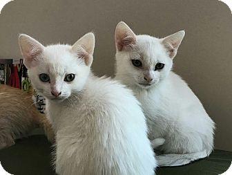 Domestic Mediumhair Kitten for adoption in Ypsilanti, Michigan - Shepherd