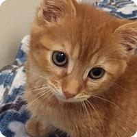 Domestic Shorthair Kitten for adoption in Stafford, Virginia - Jessie
