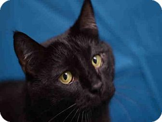 Domestic Mediumhair Cat for adoption in Fort Collins, Colorado - BONGO