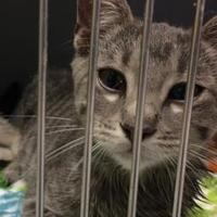 Domestic Shorthair/Domestic Shorthair Mix Cat for adoption in Savannah, Tennessee - Mario