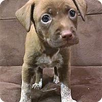 Adopt A Pet :: Mocha - Garland, TX