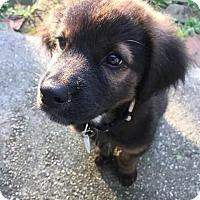 Australian Shepherd/Shepherd (Unknown Type) Mix Puppy for adoption in Denver, Colorado - Meg
