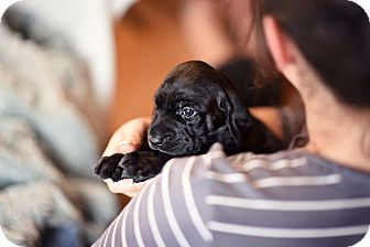 Labrador Retriever Mix Puppy for adoption in Plainfield, Illinois - Lukas
