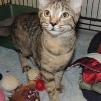 Adopt A Pet :: Tiger - Westville, IN