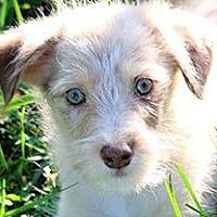 Adopt A Pet :: LINUS(GORGEOUS AUSSIE-POO PUP! - Wakefield, RI