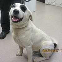 Adopt A Pet :: Gulliver - Rockville, MD