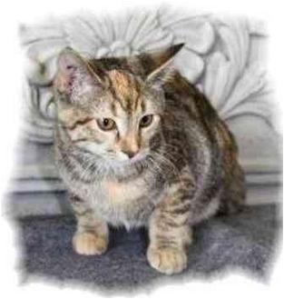 Domestic Shorthair Kitten for adoption in Okotoks, Alberta - Cherry