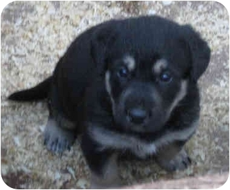 German Shepherd Dog/Rottweiler Mix Puppy for adoption in Poway, California - Rayme