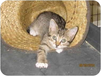 Domestic Shorthair Kitten for adoption in Catasauqua, Pennsylvania - June